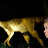 תלמידה בת שמונה מביטה במוצג של דינוזאור מזן גלימימוס בולטוס,  Natural History Museum בלונדון. צילום: גטי אימייג'