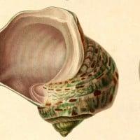 איור מאטלס Voyage de la Corvette 1833