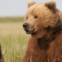 דובה עם הגור שלה, פרצופו עדיין מרוח בחלב אם, אלסקה. צילום: גטי אימייג'