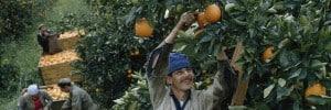 קטיף תפוזים