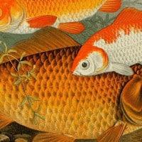 דגי מים מתוקים בבבריטניה. איור מהמאה ה-19 באדיבות The Biodiversity Library