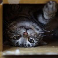 חתול בקופסה