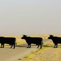 פרות חוצות מאחורי שלט על פרות חוצות