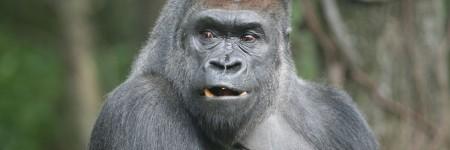 זורי, גורילה בן 26, בקונגו, בגן החיות של ברונקס