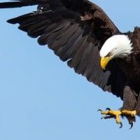 עיטם לבן אמריקני, Bald Eagle