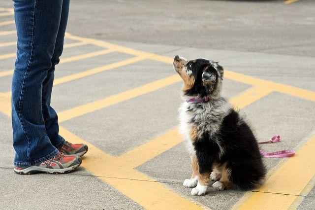 כלב מקשיב לאדונו. ציות.