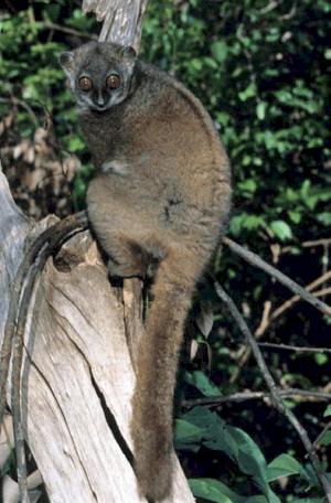 למור בן ימינו ממדגסקר.