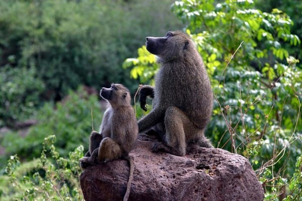 בבונים בטנזניה. צילום: צ'ארלס שארפ