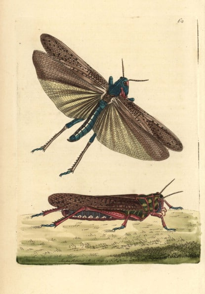 איור של חגב נודד מתוך הספר The Naturalist's Miscellany 1790.