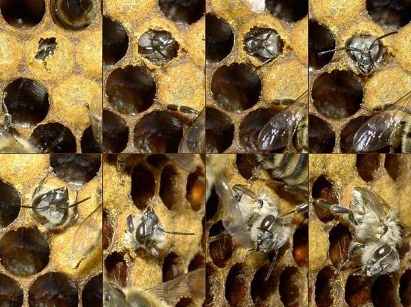 דבורה מגיחה מתא בכוורת, כ-21 ימים לאחר שהמלכה מטילה ביצים. סוג הדבורה נוצר בהתאם לגודל התא
