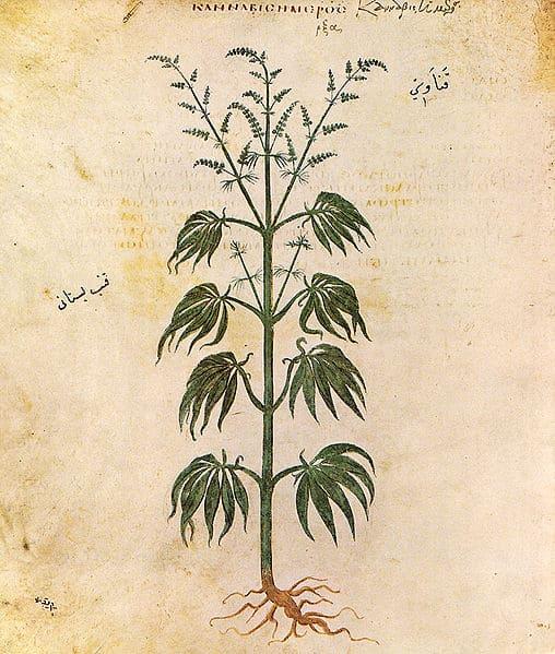 איור של צמח הקנאביס מהמאה ה-6 לספירה.