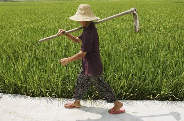 פועל סיני עובד בשדב של אורז היברידי במחוז חונאן שבמרכז סין. צילום: גטי אימג'ס