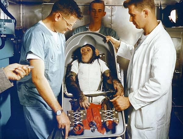 האם הצ׳ימפנזה מתכונן לטיסתו  לחלל ב-1961. צילום: נאס״א