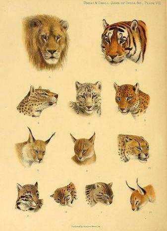 יונקים ממשפחת החתולים. איור מהמאה ה-19