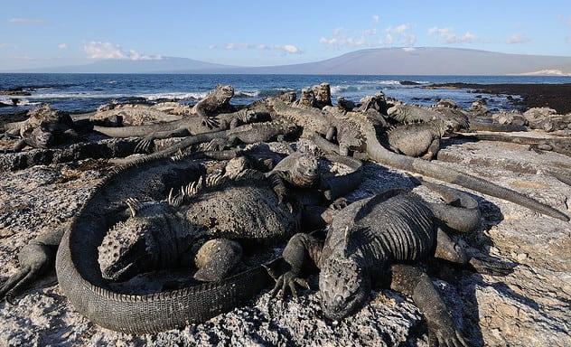הדרקונים מאיי הגלפגוס. צילום: סקוט אייבלמן