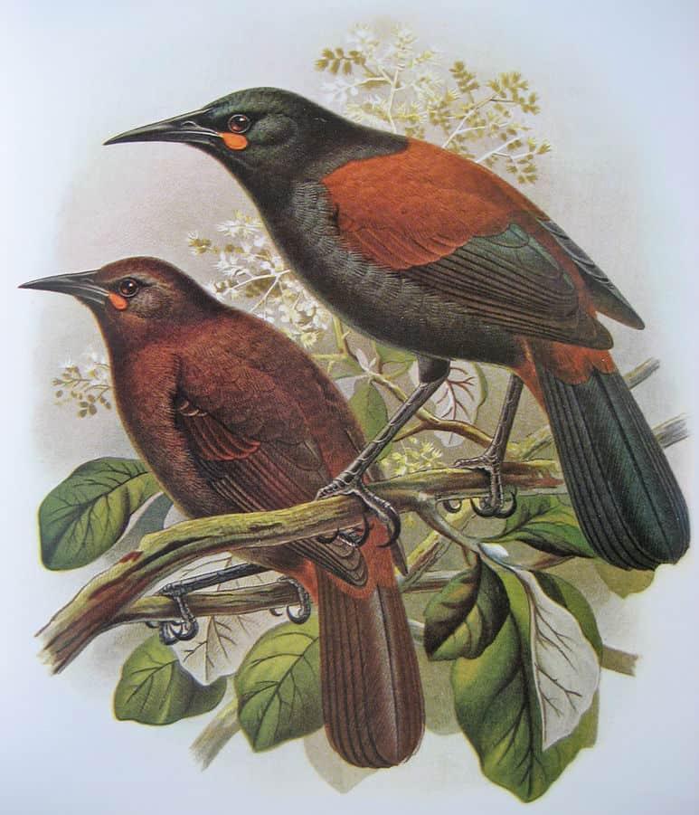 ציפורי הסאדלבאק באי הדרומי של ניו זילנד. איור מתוך Walter Buller's Birds of New Zealand