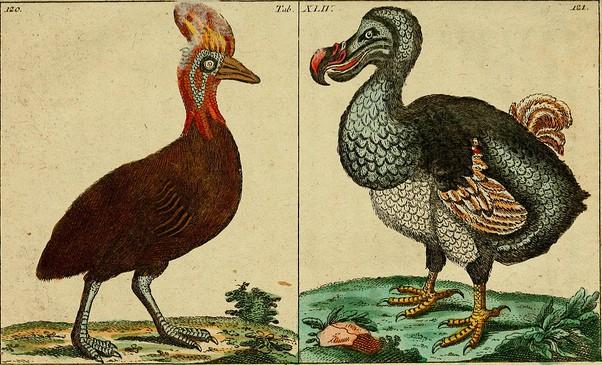 מימין: ציפור הדודו שנכחדה. באדיבות הספרייה לגיוון ביולוגי