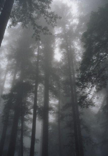 יער עצי רדווד בקליפרוניה.