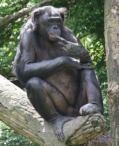 שימפנזה ננסי
