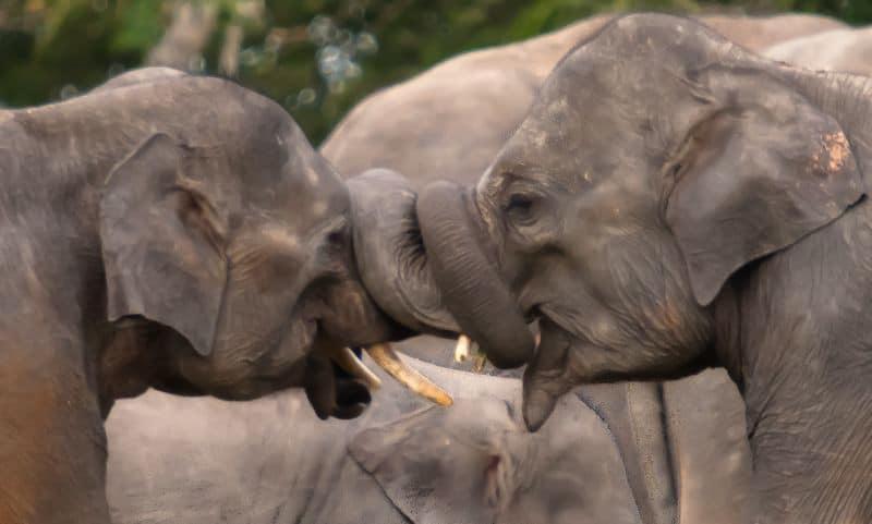 פילים בסרי לנקה