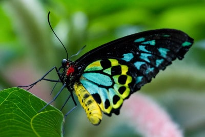 פרפר Cairns Birdwing