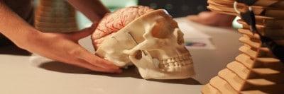 מוח בתוך גולגולת