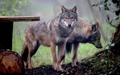 צמד זאבים באנגליה