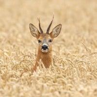 צבי בשדה