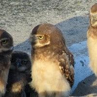משפחת ינשופים