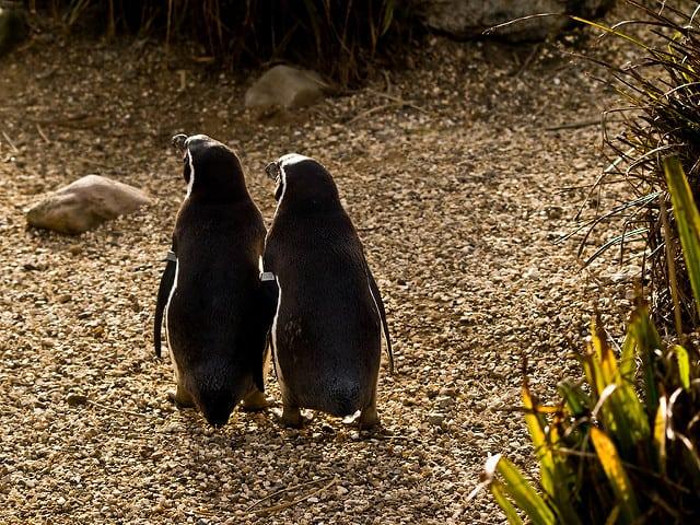זוג פינגוויני הומבולדט
