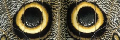כתמי עיניים בכנפיים של פרפר העטלף