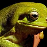 צפרדע עצים ירוקה