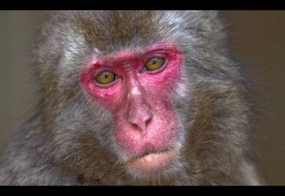 קוף ביפן