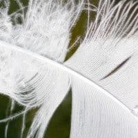 נוצת אווז מרחפת על פני המים