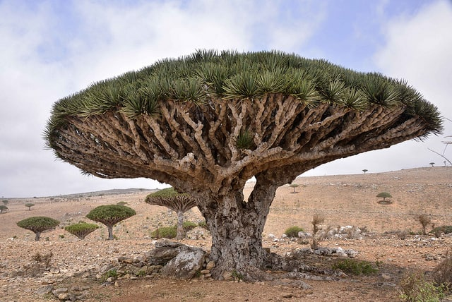 עץ דם הדרקון, סוקוטרה, תימן