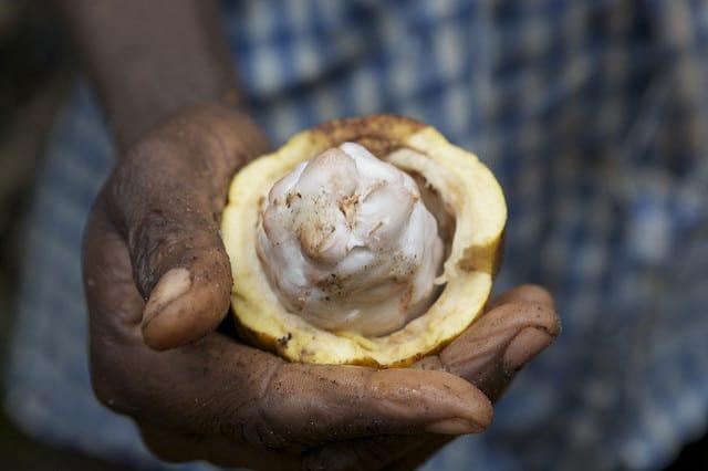 קקאו ביד של חקלאי