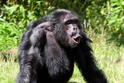 קוף במריבה