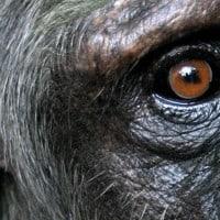שימפנזה מקרוב, סאלי, נקבה