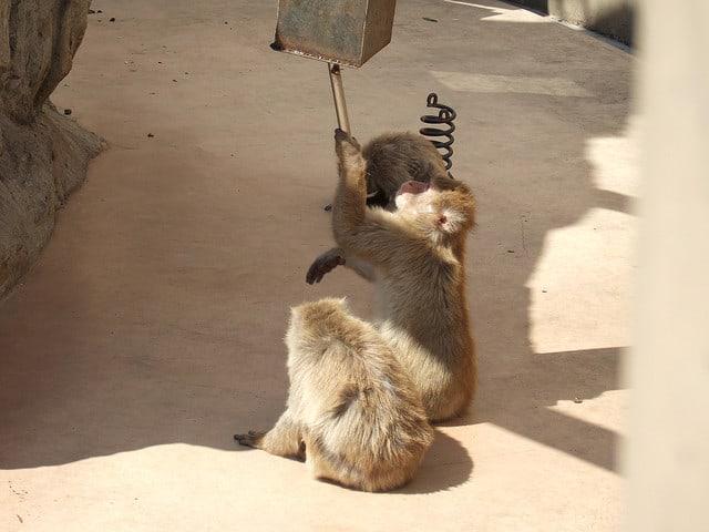 קופי מקוק יפניים משתמשים בכלים