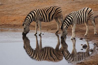 זברות במקווה מים בנמיביה
