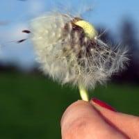 יד אוחזת בפרח שמתפזר ברוח