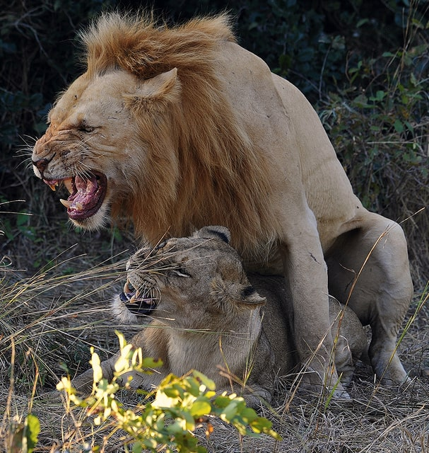 זוג אריות במשגל