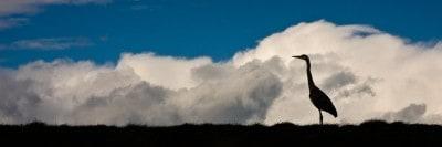 חסידה עומדת על רקע נוף עם עננים