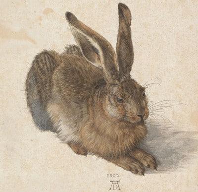 ארנבת, אלברכט דירר