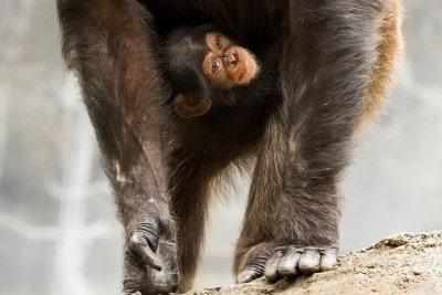 תינוק שימפנזה