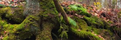 עץ עם שורשים וירוקת