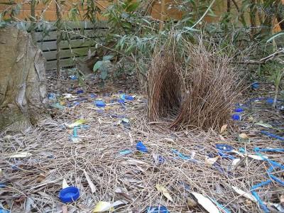 סוכי אוסטרלי, קן מקושט בחפצים כחולים