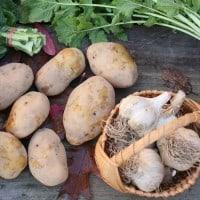 ירקות אורגניים, ירקות שורש