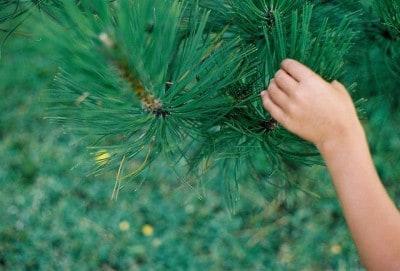 יד של ילד ממששת עלי מחטים של אורן