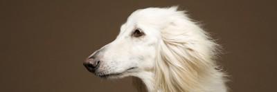 כלב אפגאני